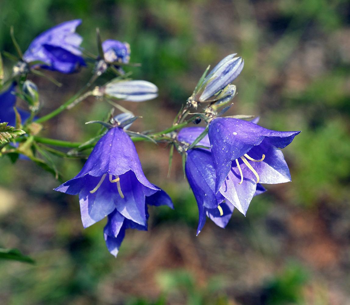 колокольчикообразные цветы с фото поздравление мужчине