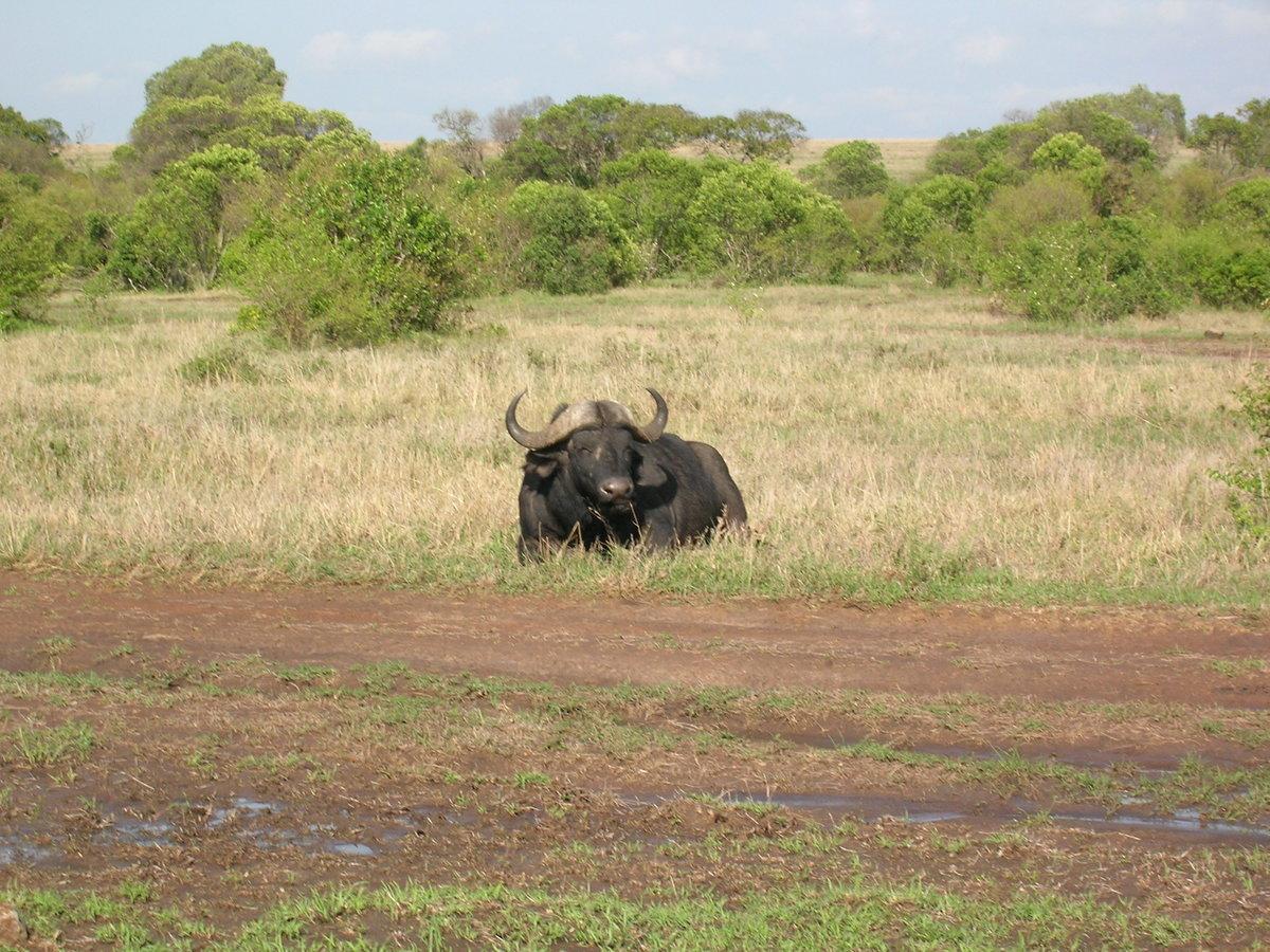 фото буйволиц и автомобили программе