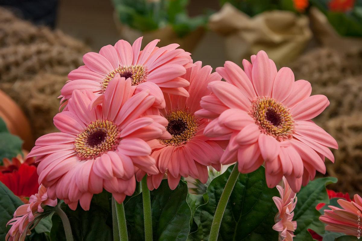 фото цветка герберы собрали галерею
