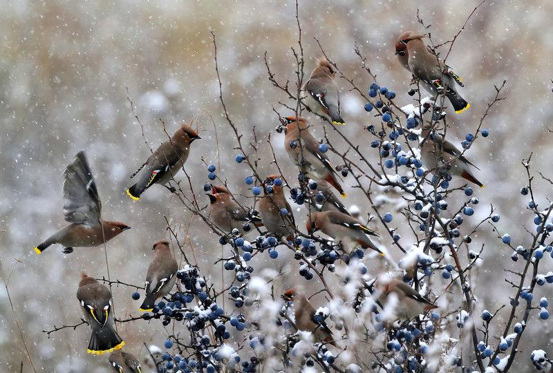 птичий аппетит крепчает, как и мороз #свиристели #терн #ягоды