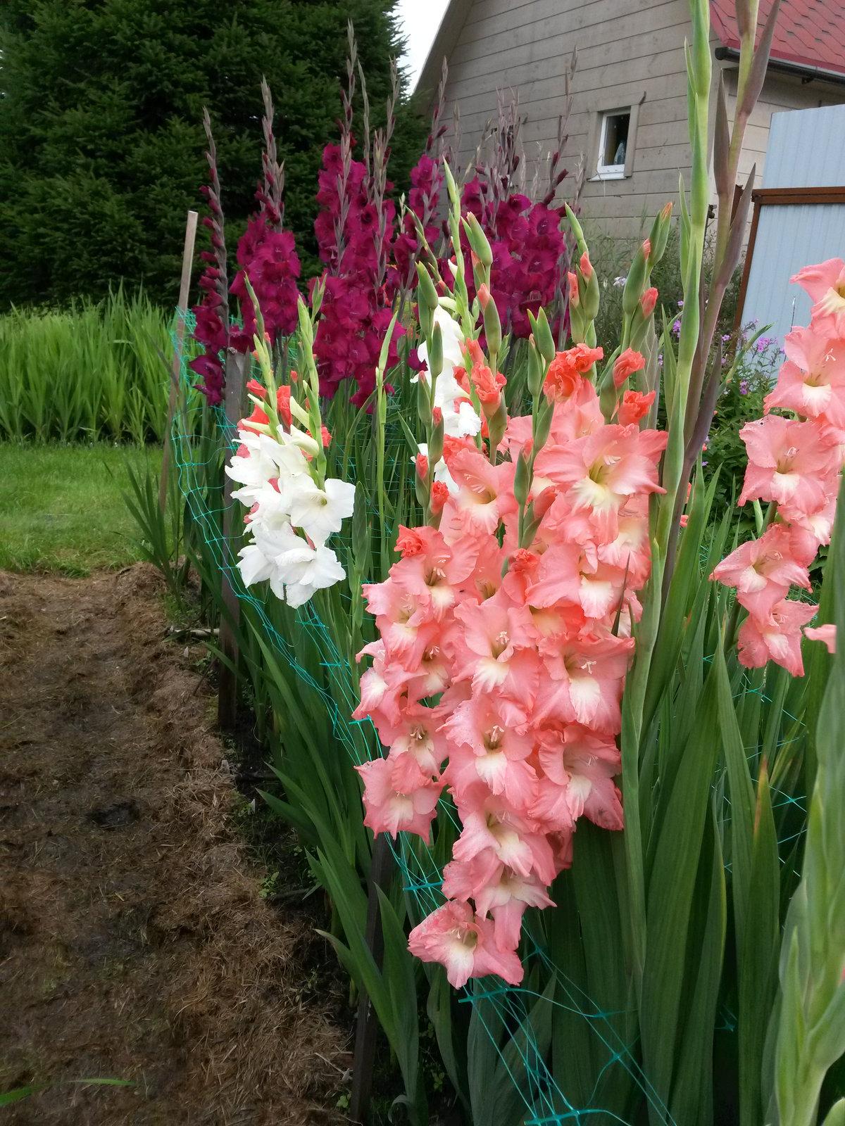 гладиолусы фото цветов на клумбе распоряжение