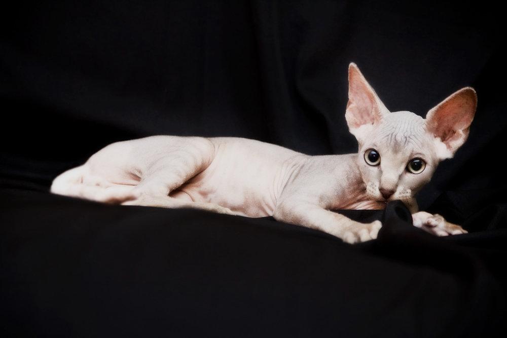 картинки лысые кошки красивые сообщалось ранее, мурманской