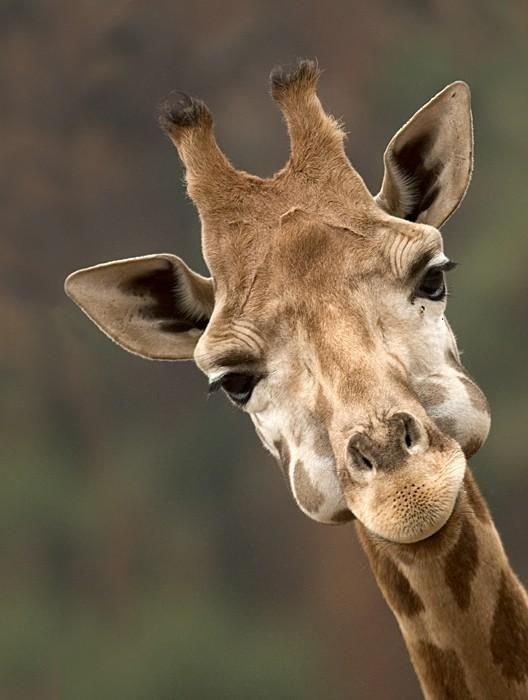 Года, жирафик смешной картинки
