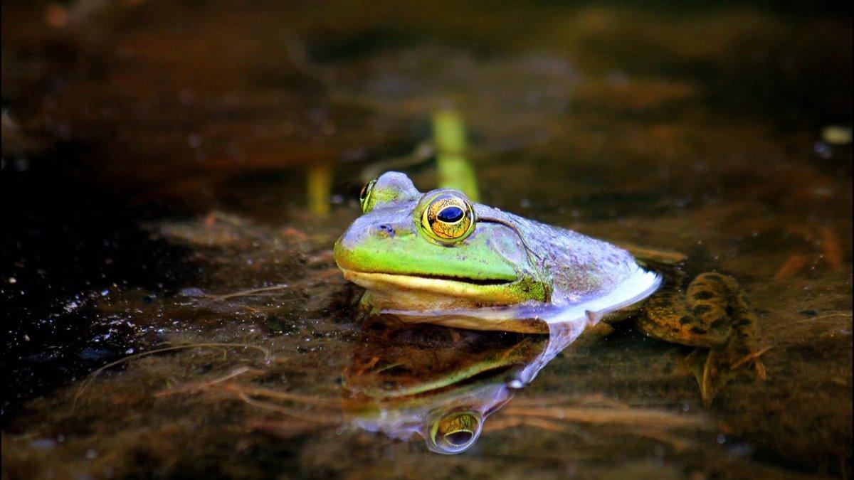 Картинка лягушка на болоте