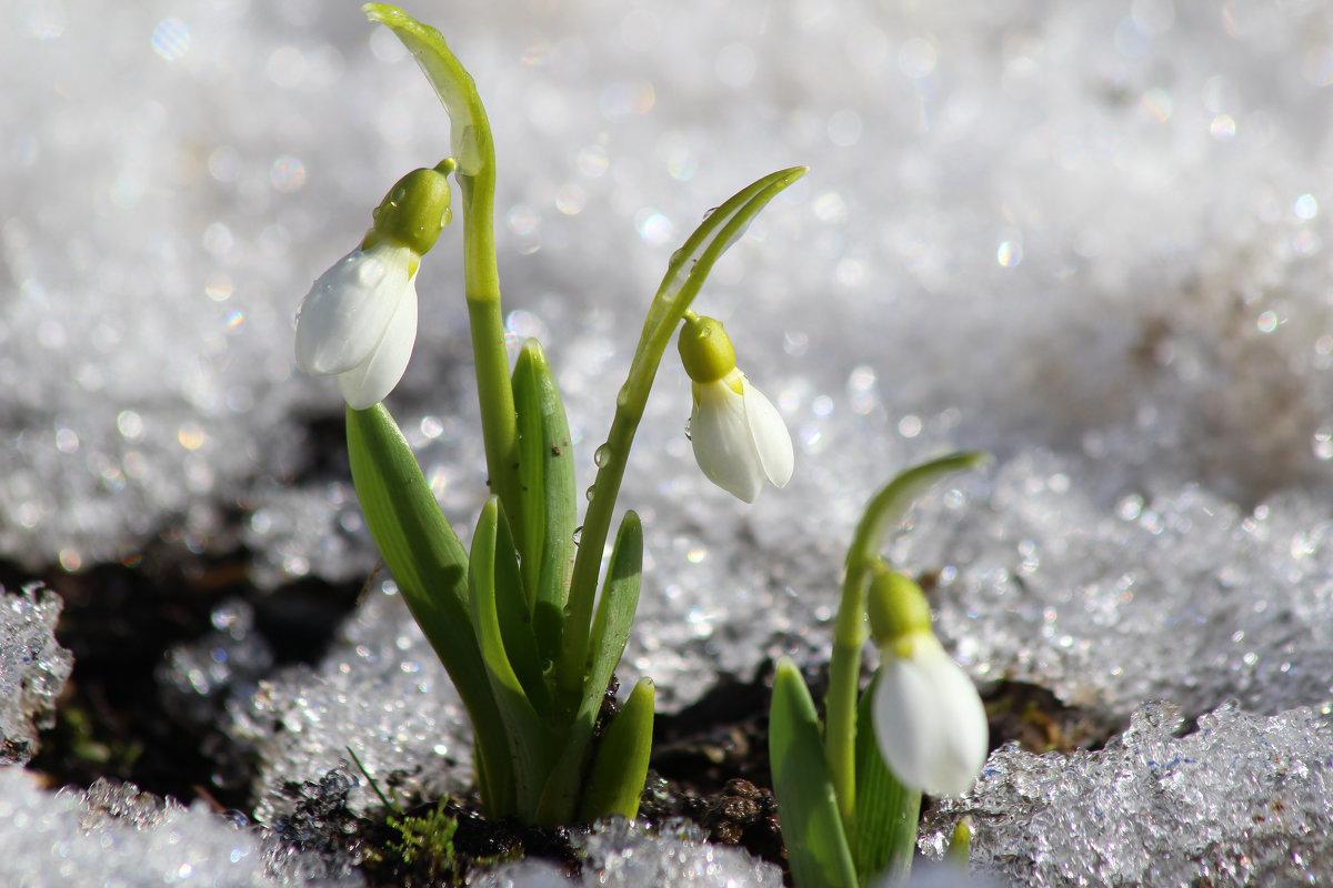 весна пришла с подснежниками картинки домашних