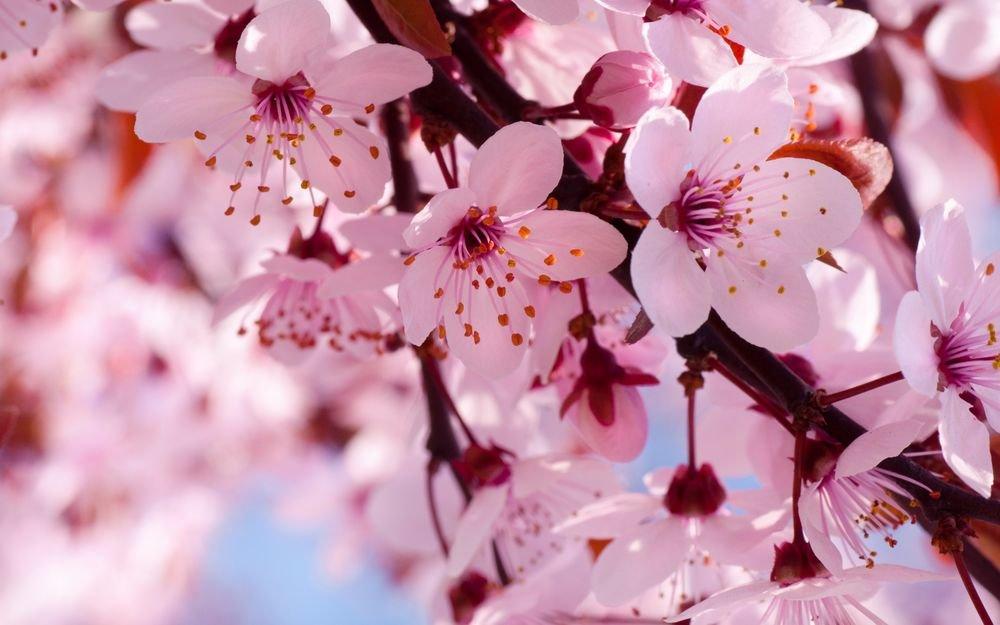 Картинки, открытки вишня цветет