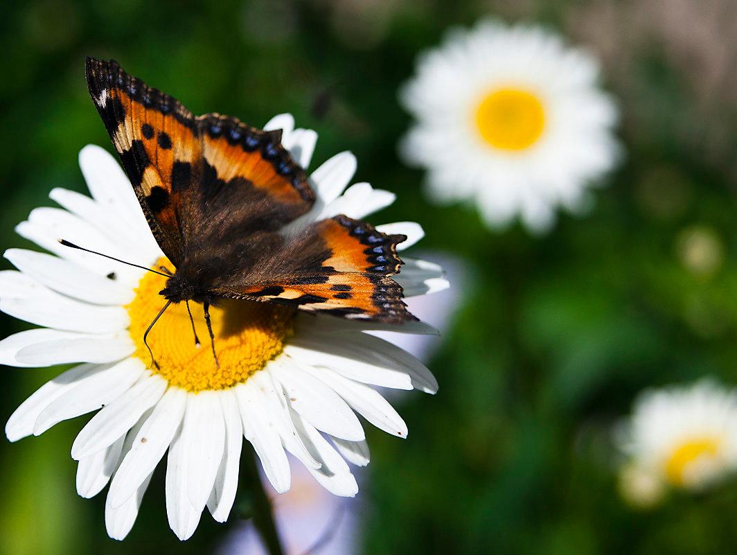 Тихо, картинки бабочки на ромашке