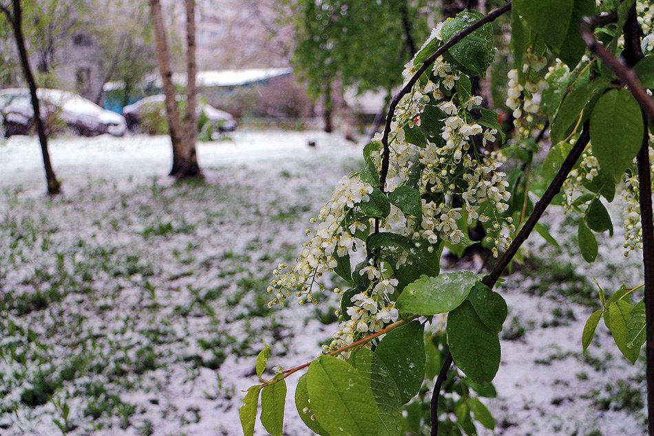 черемуха цветет в санкт петербурге фото искусственным освещением