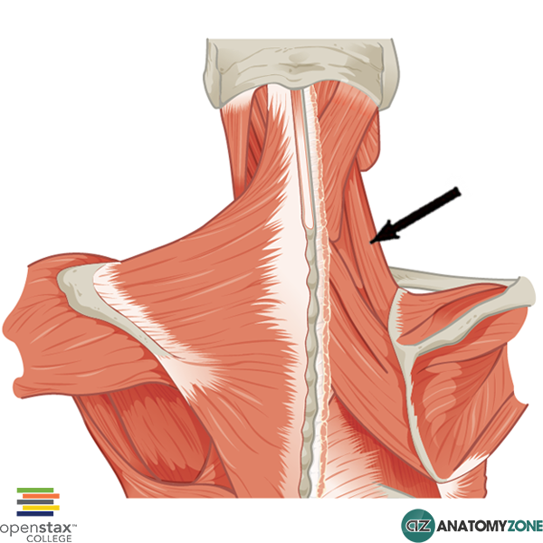 The quadratus lumborum is a muscle of the posterior abdominal wall It is the deepest abdominal muscle and commonly referred to as a back muscle