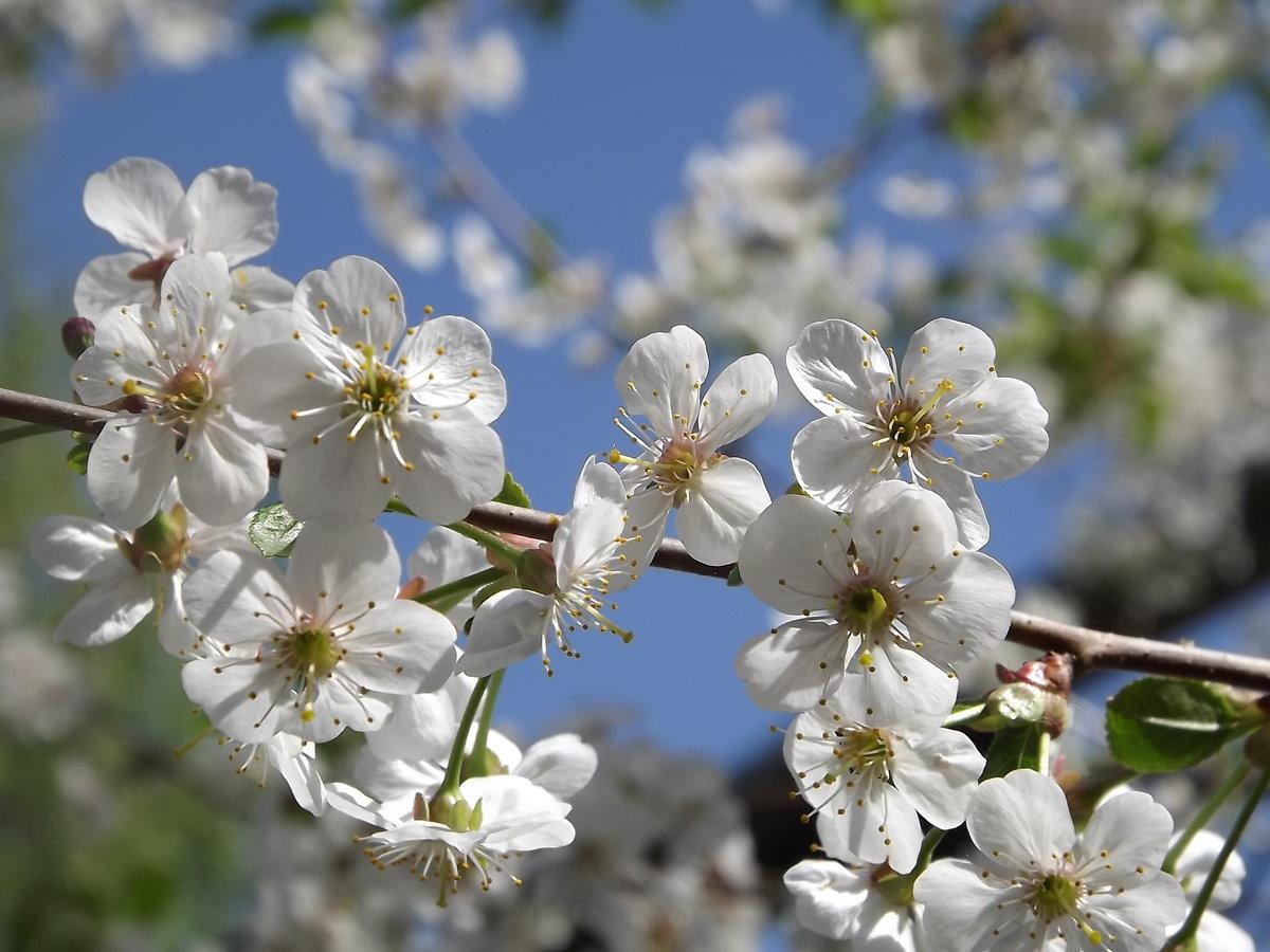 Картинка вишни цветут