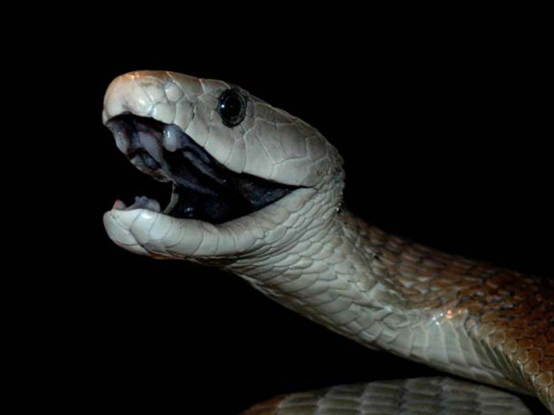 Рептилии Мамба