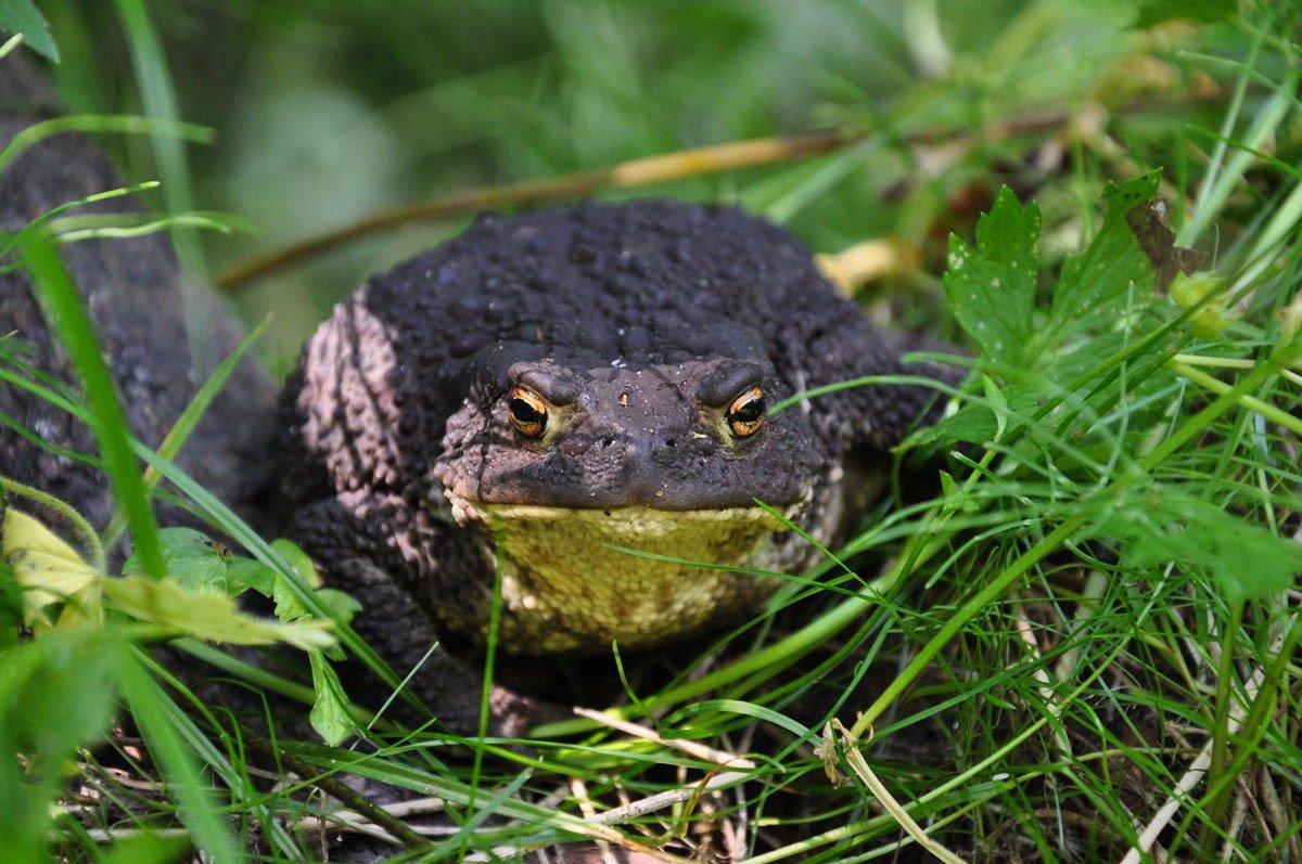 которое самые большие жабы в украине фото познакомитесь техникой