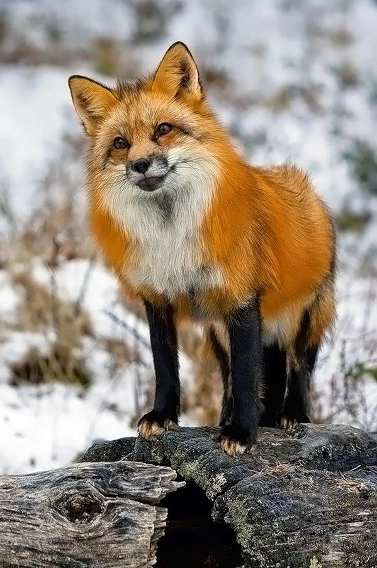 Днем рождения, лисички красивые картинки