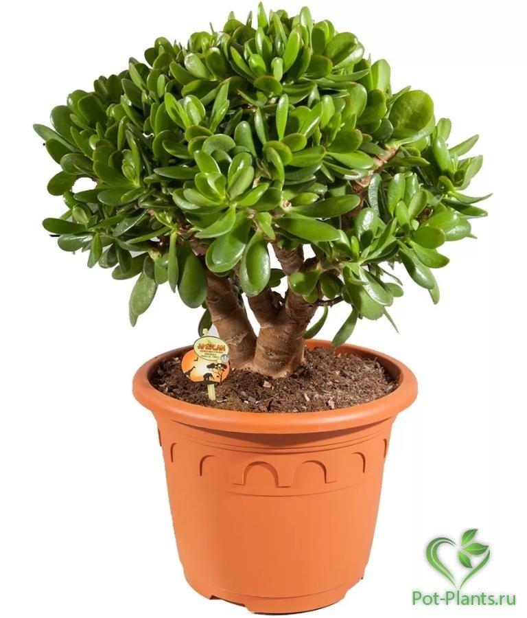 Денежное дерево толстянка картинки