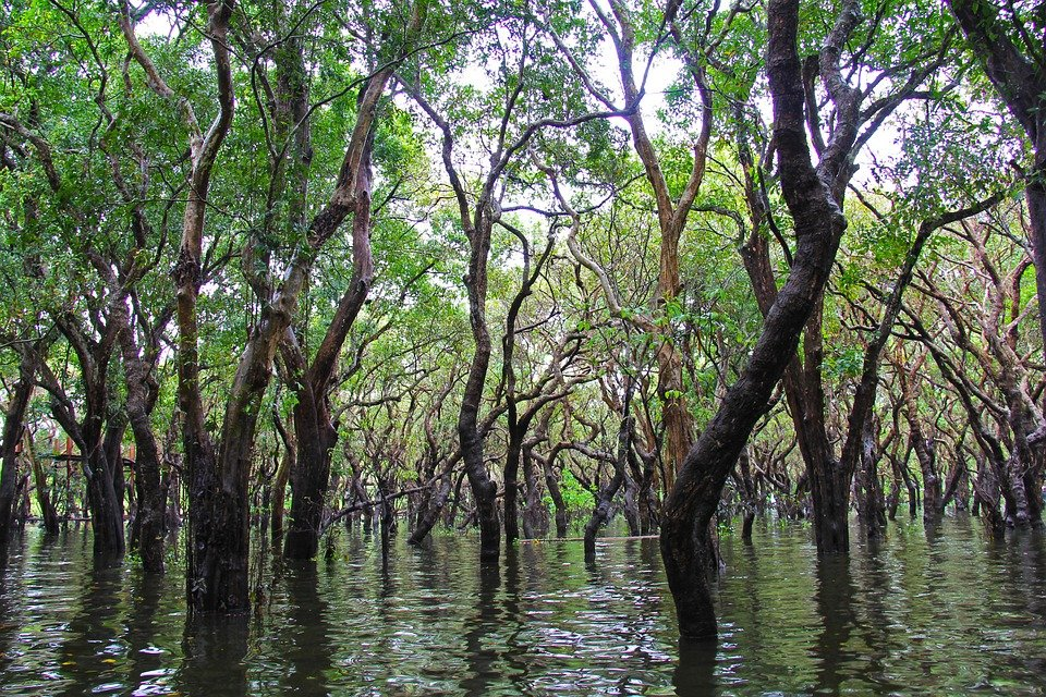 mangroves in the australian ecosystem Australian aboriginals and europeans used grey mangrove timber for shields and boat building respectively due to its light weight and strength grey mangrove timber was also an important resource for oyster growers in the 1900s, which led to the protection of mangroves under early fisheries legislation.