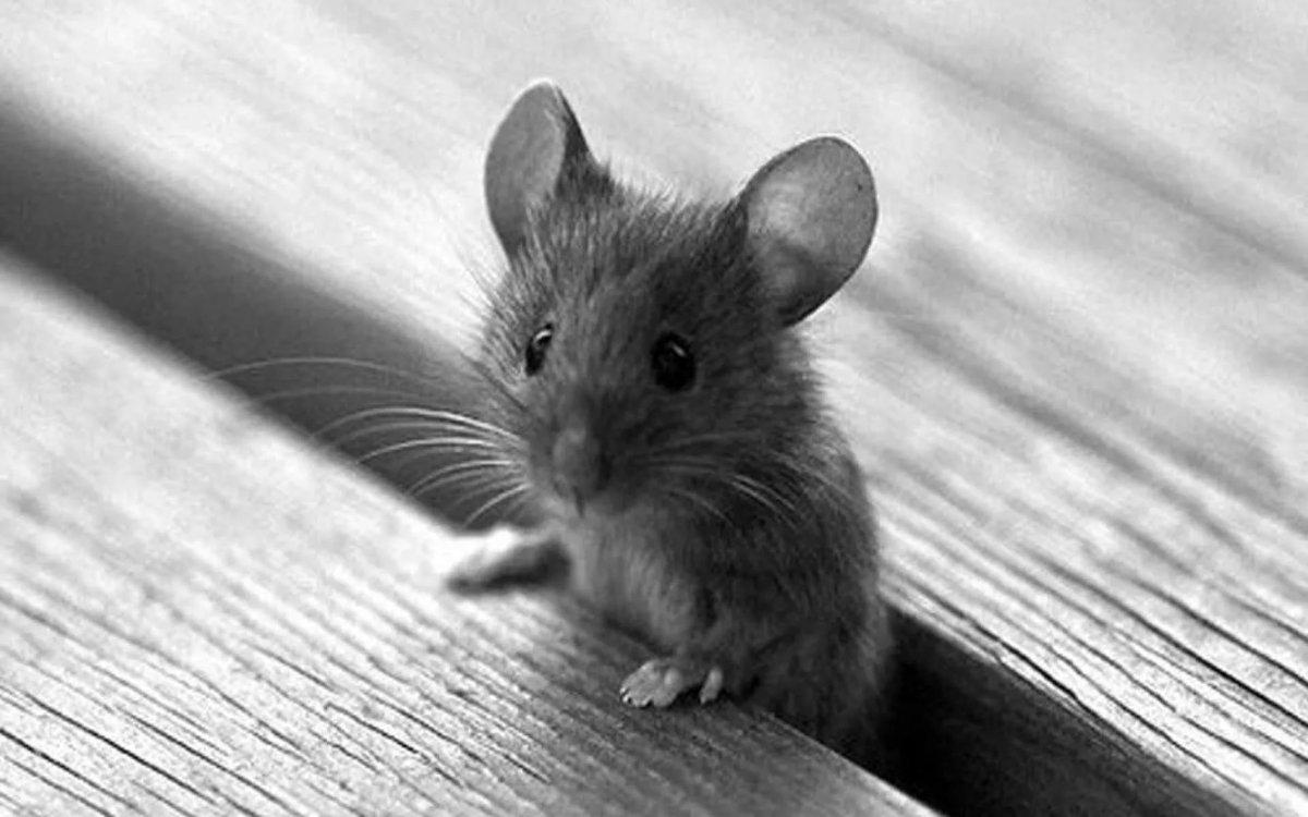 Прикольная картинка мыши