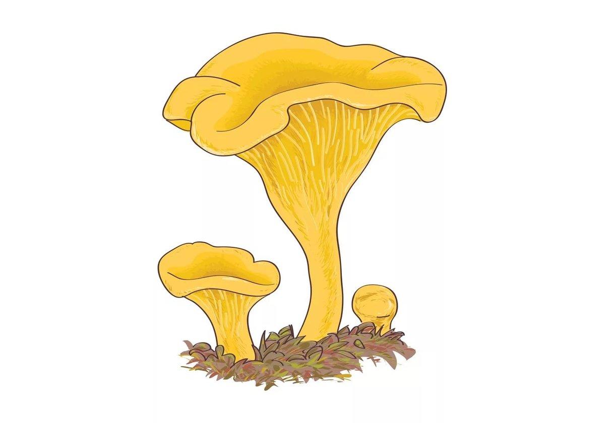 Картинка гриба лисички для детей