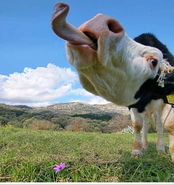 Картинки, корова прикольная картинки