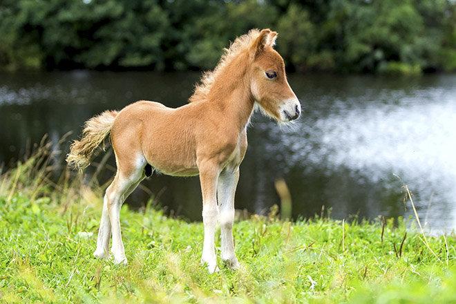 Лошадка пони у водоема.