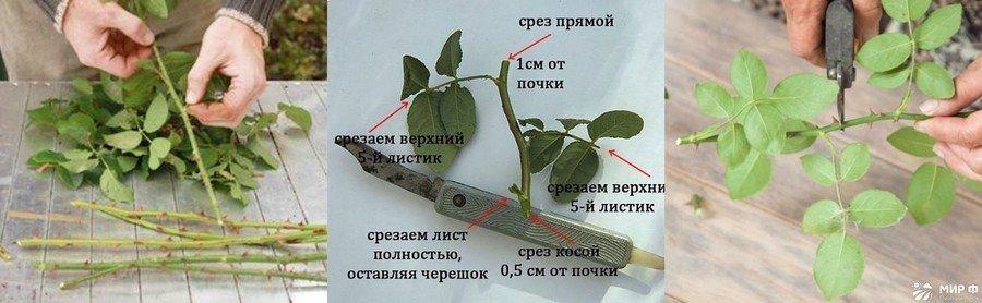 Как укоренить розу из букета весной, базы