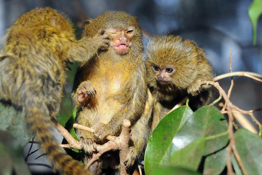 Картинки самой маленькой обезьянки в мире есть