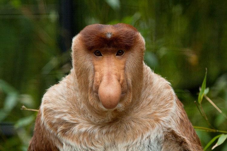 сразу обезьяны с длинным носом картинки фьорда несколько чаще