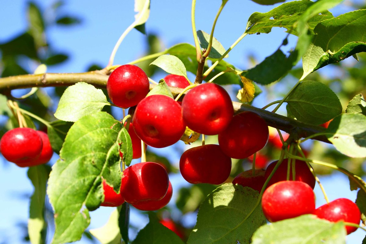словами картинки ранетки яблоки очень благодарны