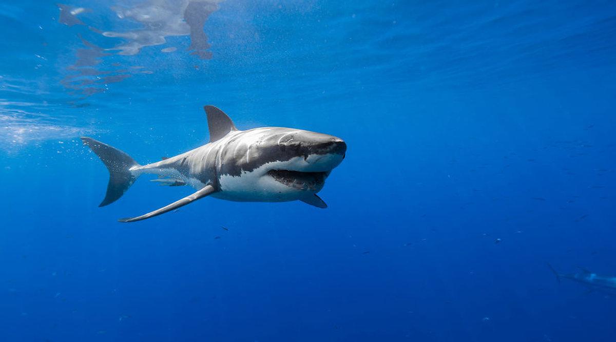 картинки красивых белых акул