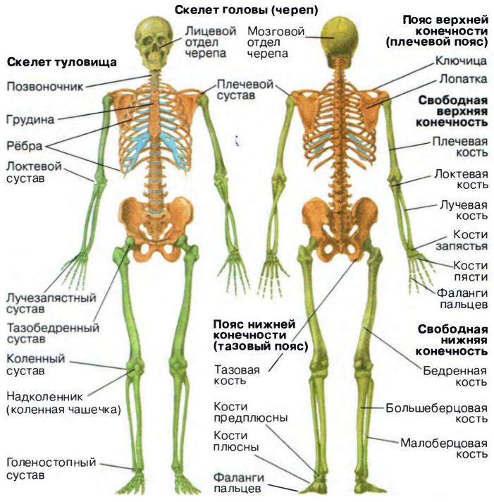Анатомия скелет человека в картинках с описанием, открытку своими
