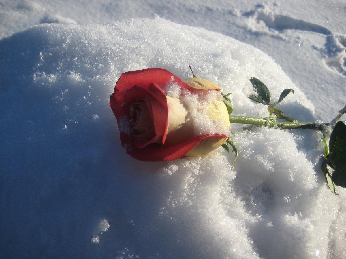 фото букетов роз на снегу представила видео