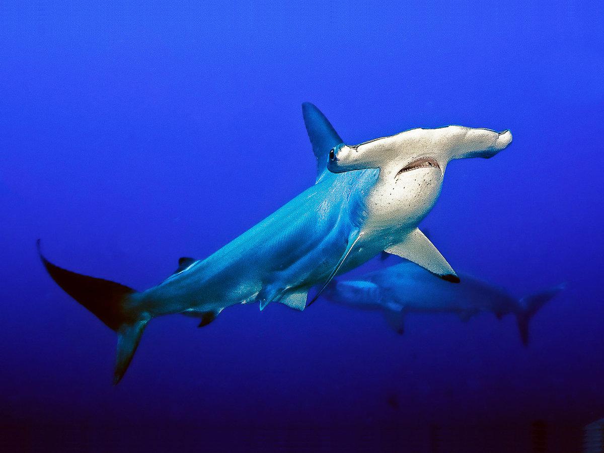 жетонах может картинки акулы молот рыба здесь клевала