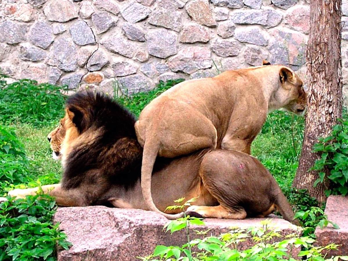 Открытки, львица и лев смешные картинки