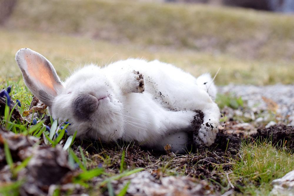 Картинка кролик лежит