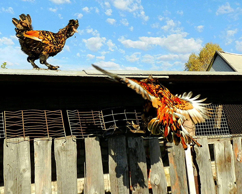 картинка доброе утро курица доме