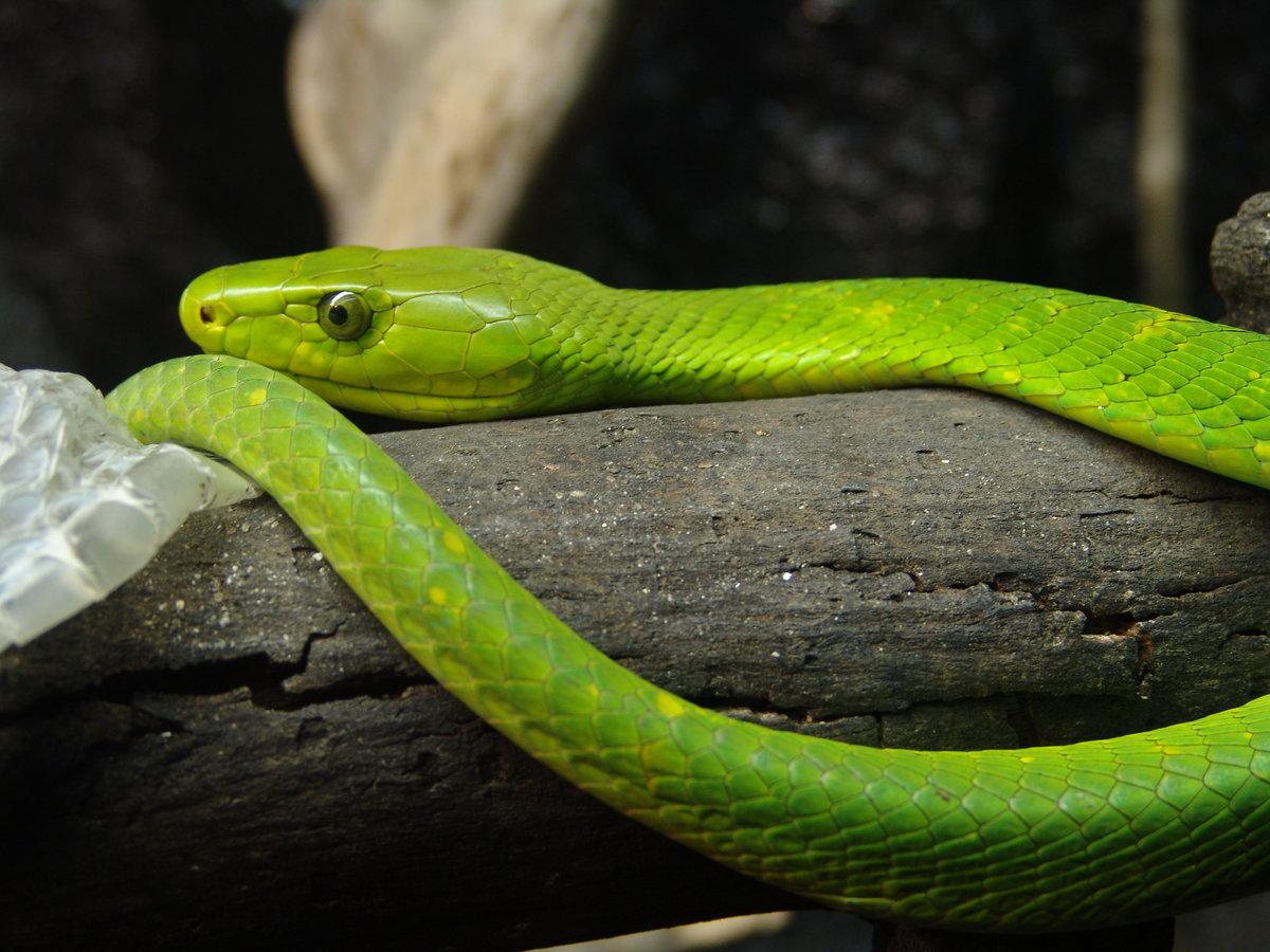 Змея Желтая Мамба