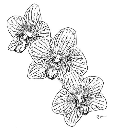 картинка орхидея цветок раскраска