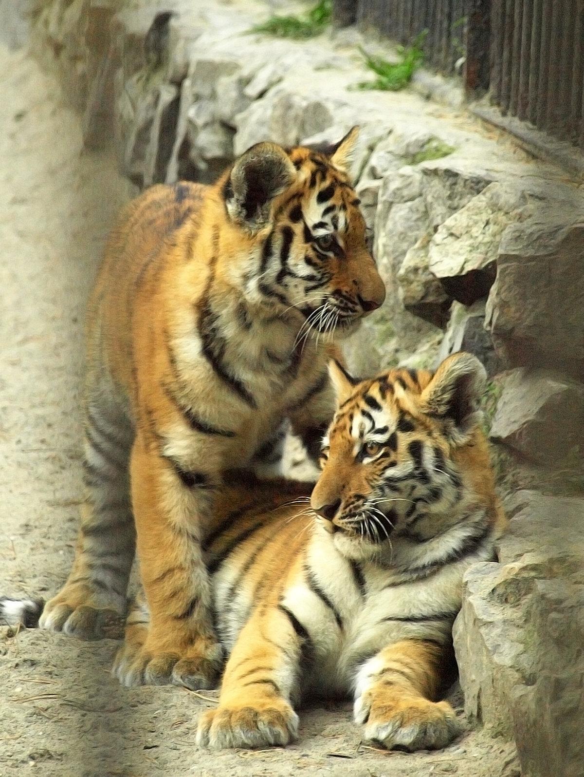Тигрята#животные #звери #зоопарк #котята #кошачьи #кошки #новосибирск #природа #тигр #тигренок #тигрята #фауна #Ñищники