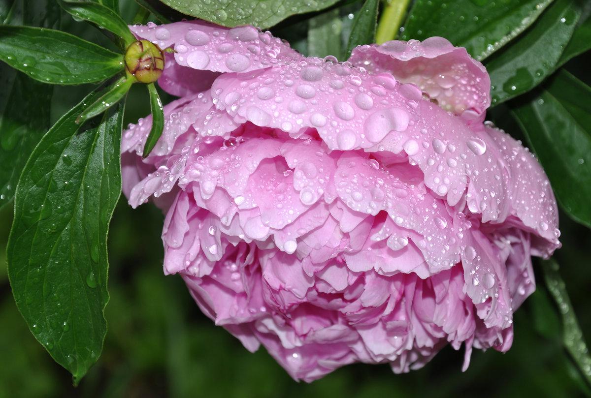 Картинки дождь и цветы пионы