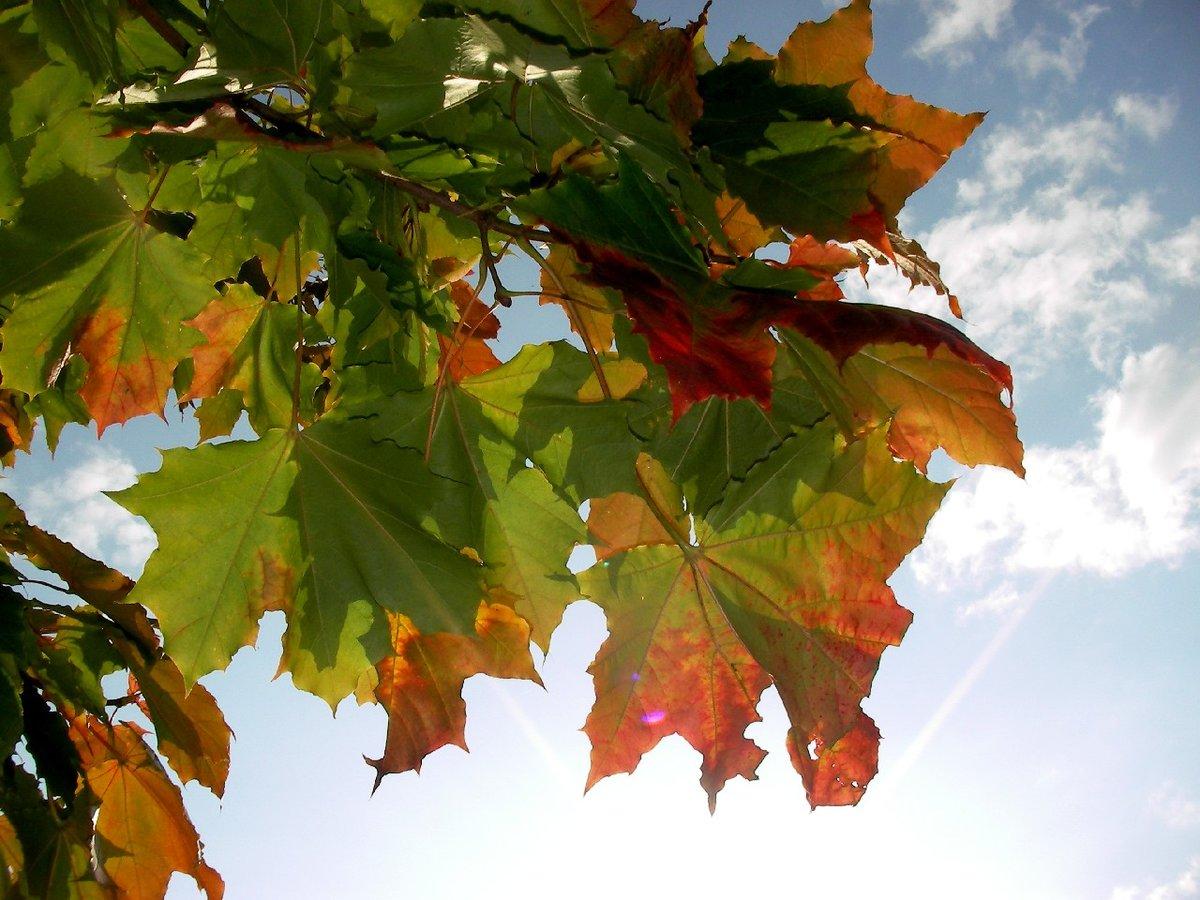 Фото осеннего клена