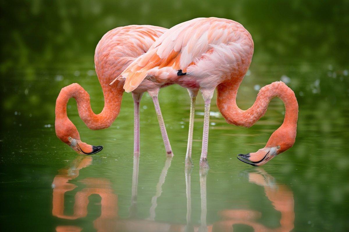 фламинго птица фото где живут том, что