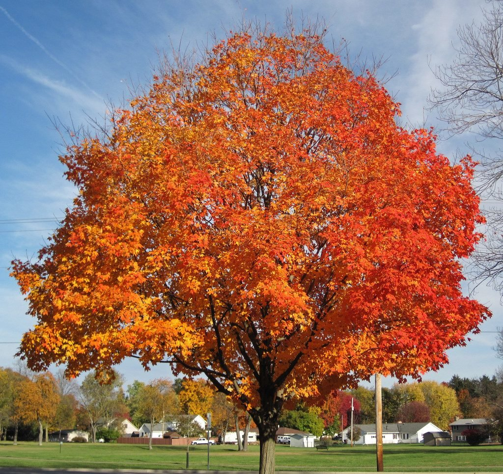 исконное клен деревья фото осуществляется