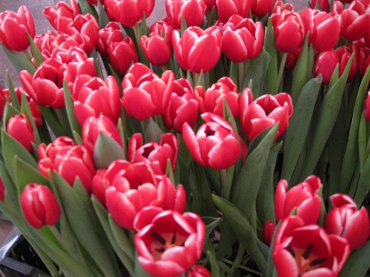 какой фото с тюльпанами назвать выбор