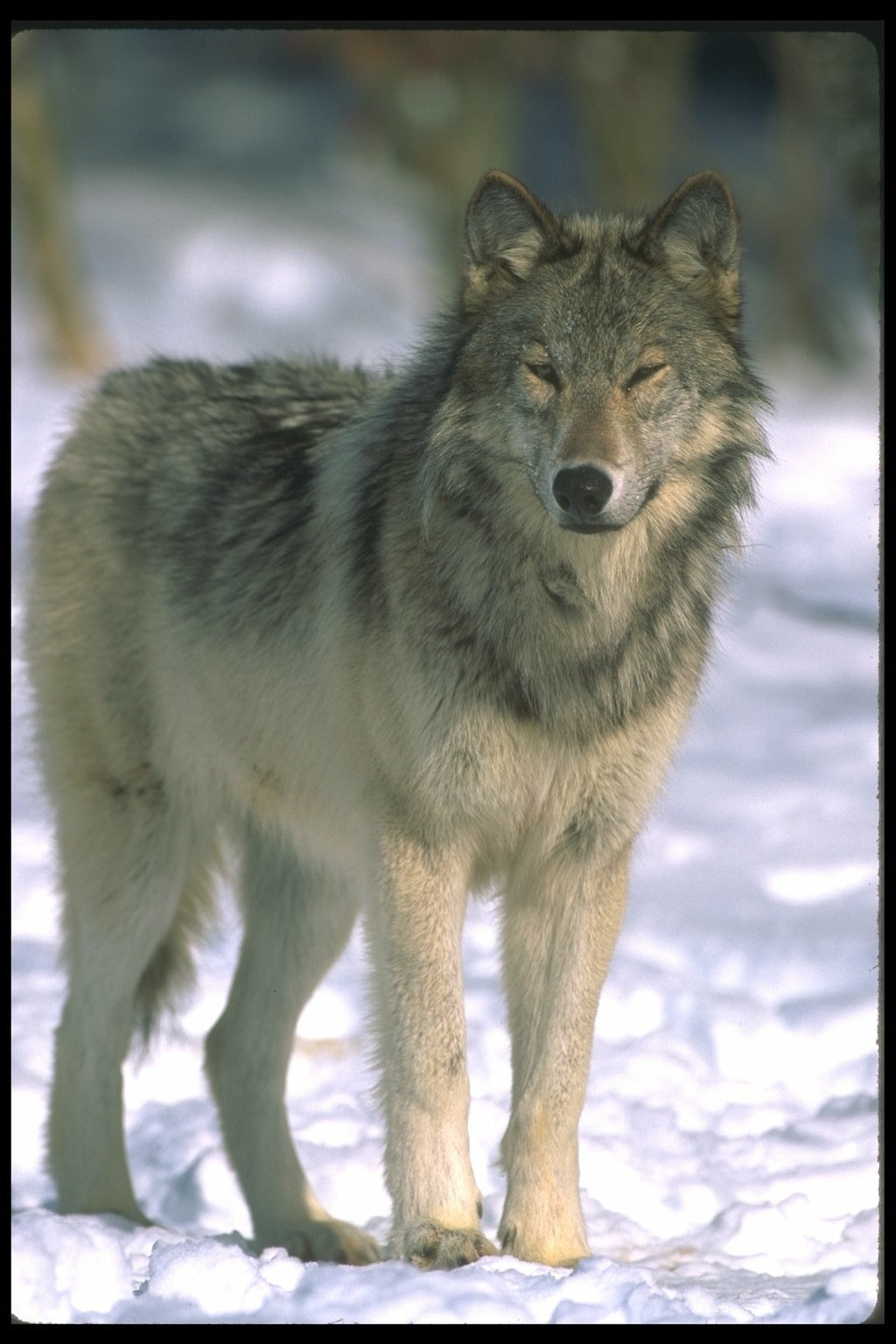 Картинки лиса заяц белка волк