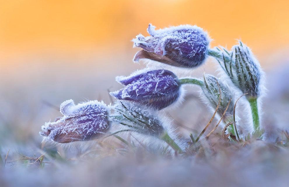 фото пролесок под снегом удивительная красота