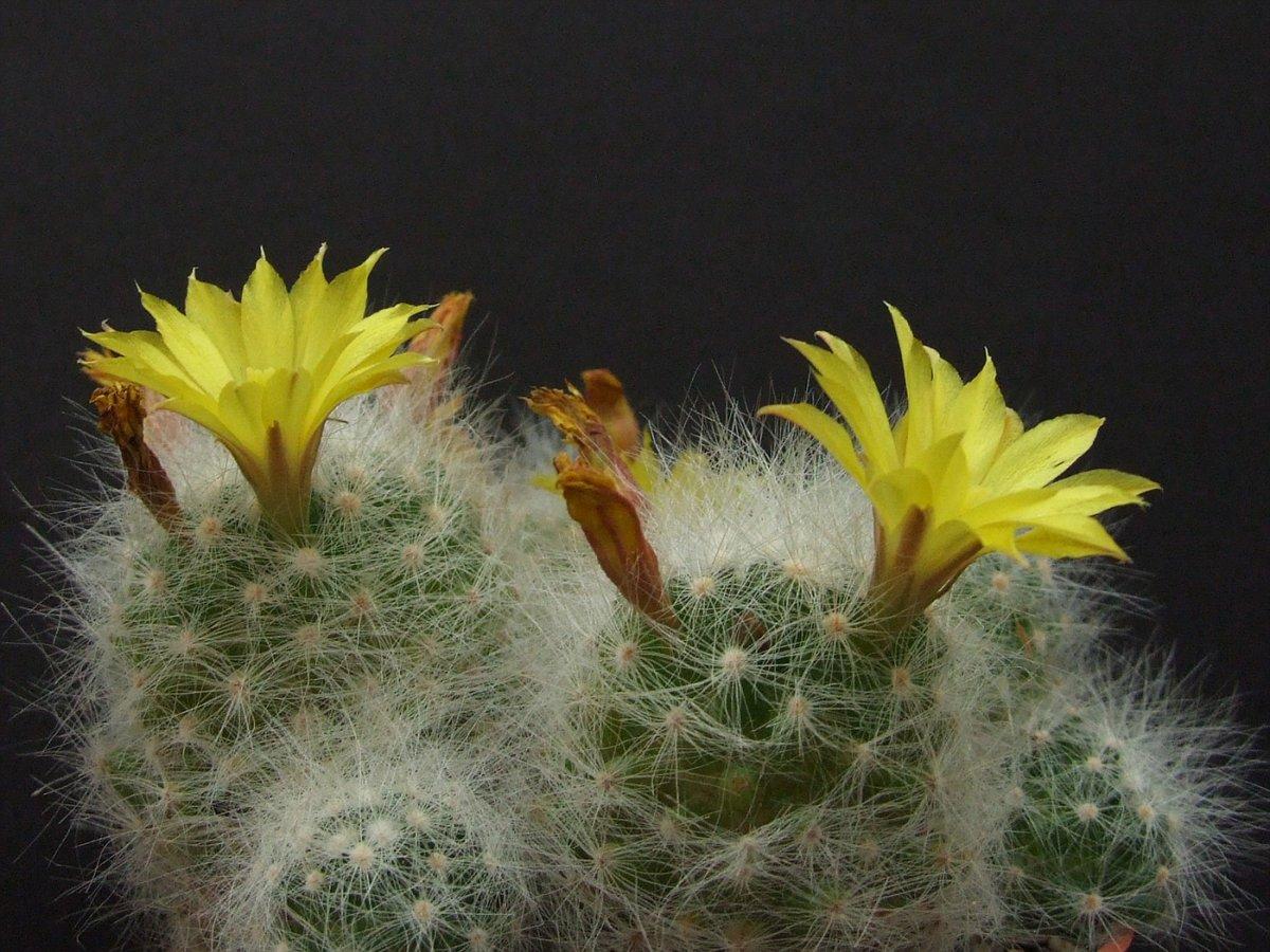 Комнатные растения кактусы фото и названия