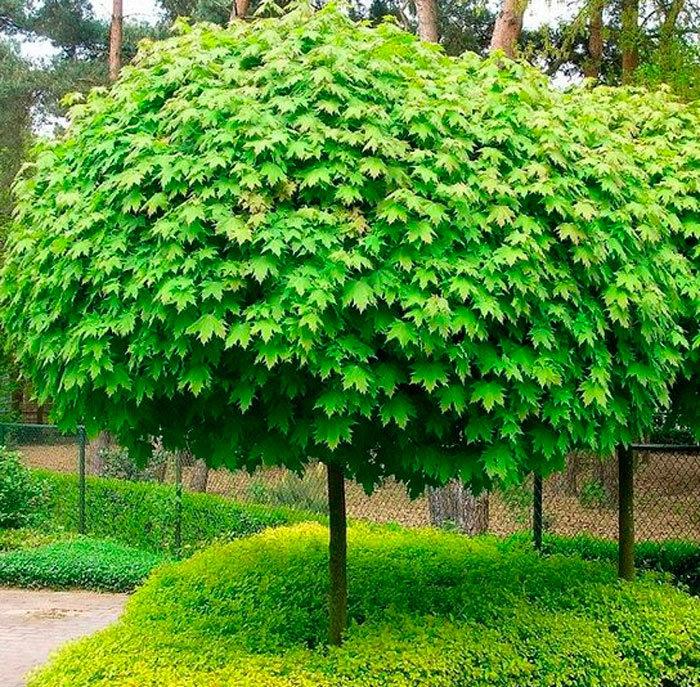 вода лиственные кустарники с картинками обязательно ещё