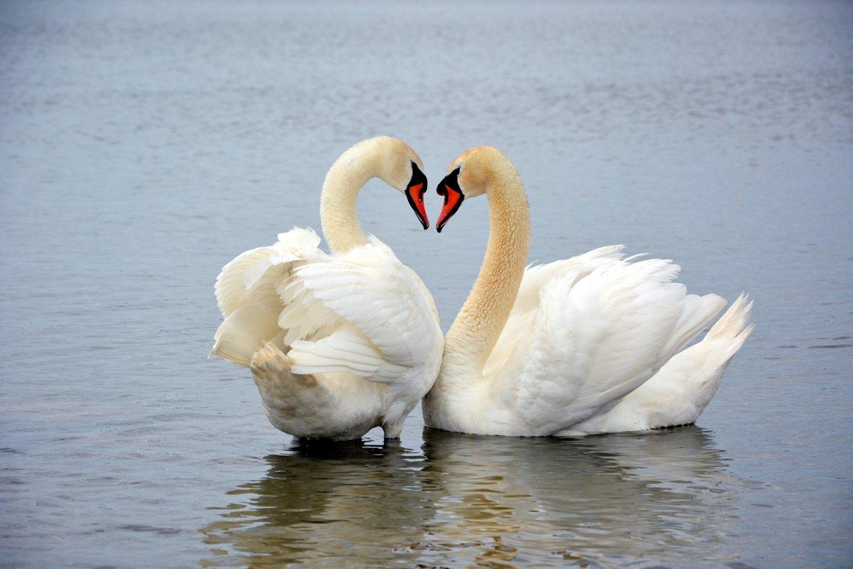 картинки с двумя лебедями мостом