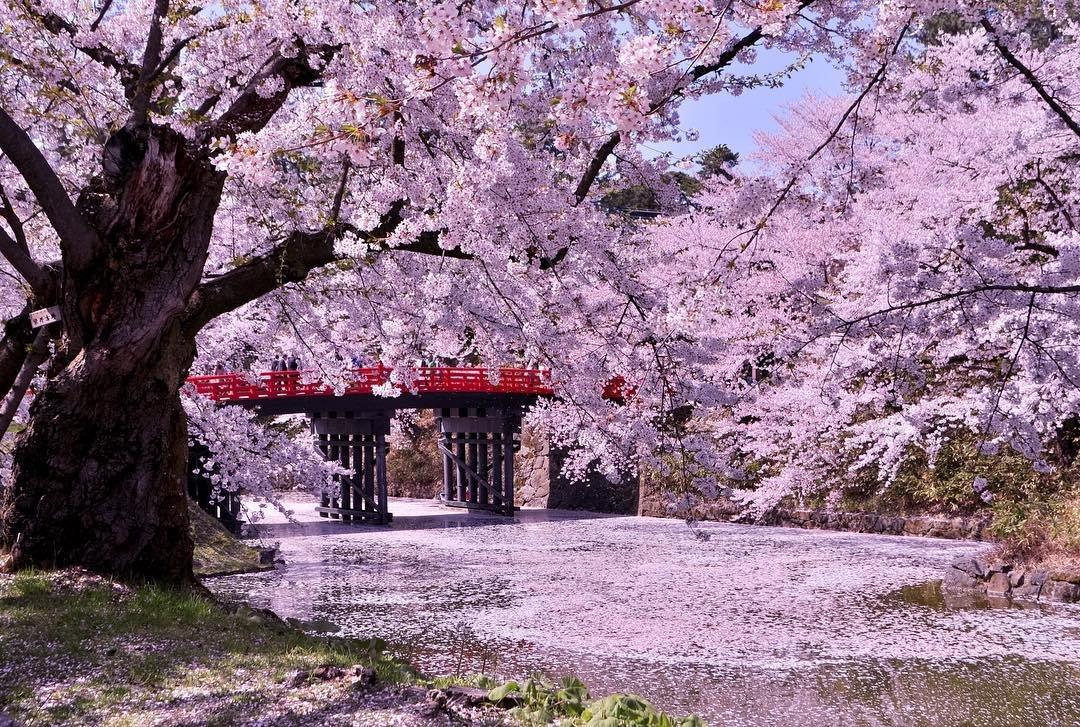 Сакура япония картинки фото