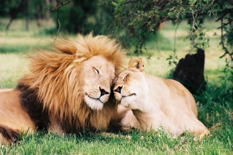 Картинки лев и львица любовь