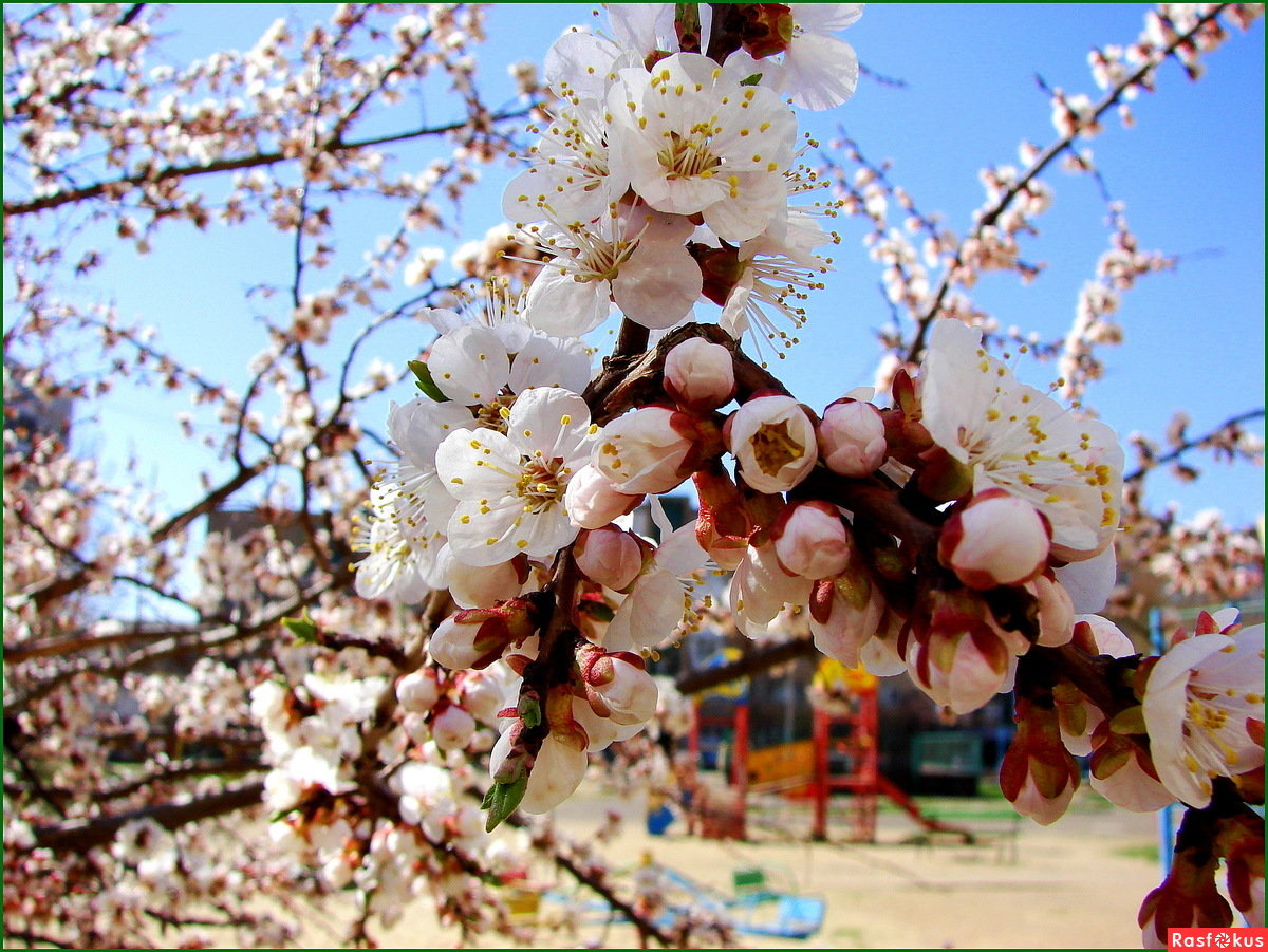 картинки цветущих деревьев абрикос смотреть